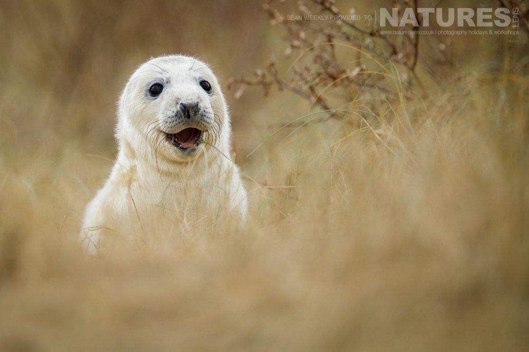 A young seal pup peeps over the dunes at the photographer photographed on the NaturesLens Seals of Lincolnshire Photography Holiday