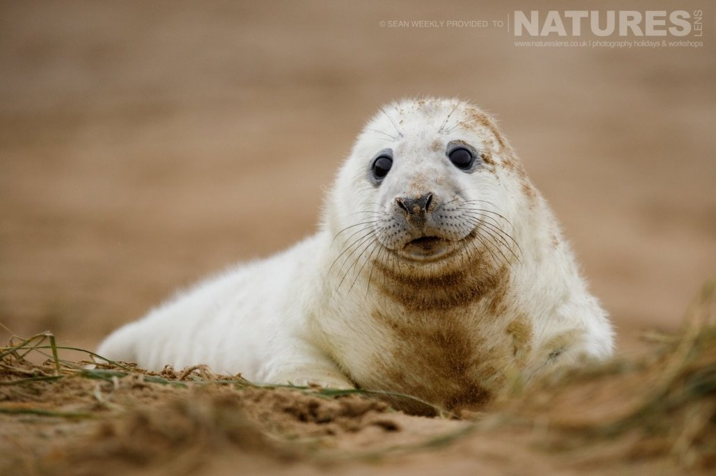 A young seal pup peers over the dunes at the photographer photographed on the NaturesLens Seals of Lincolnshire Photography Holiday