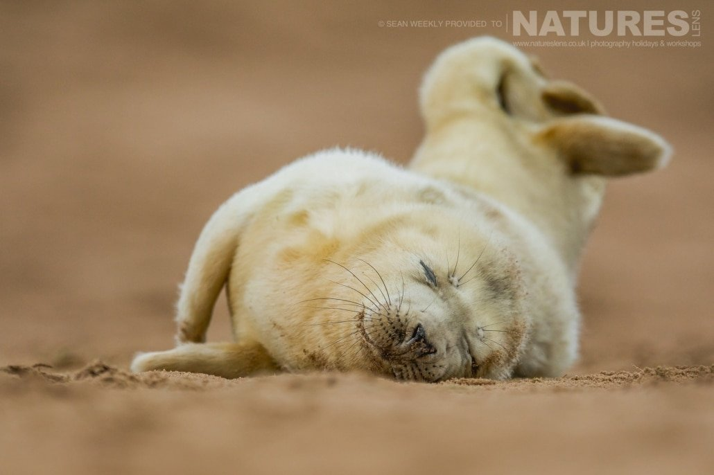 A young seal pup sleeps contentedly on the sands of the Lincolnshire coastline photographed on the NaturesLens Seals of Lincolnshire Photography Holiday