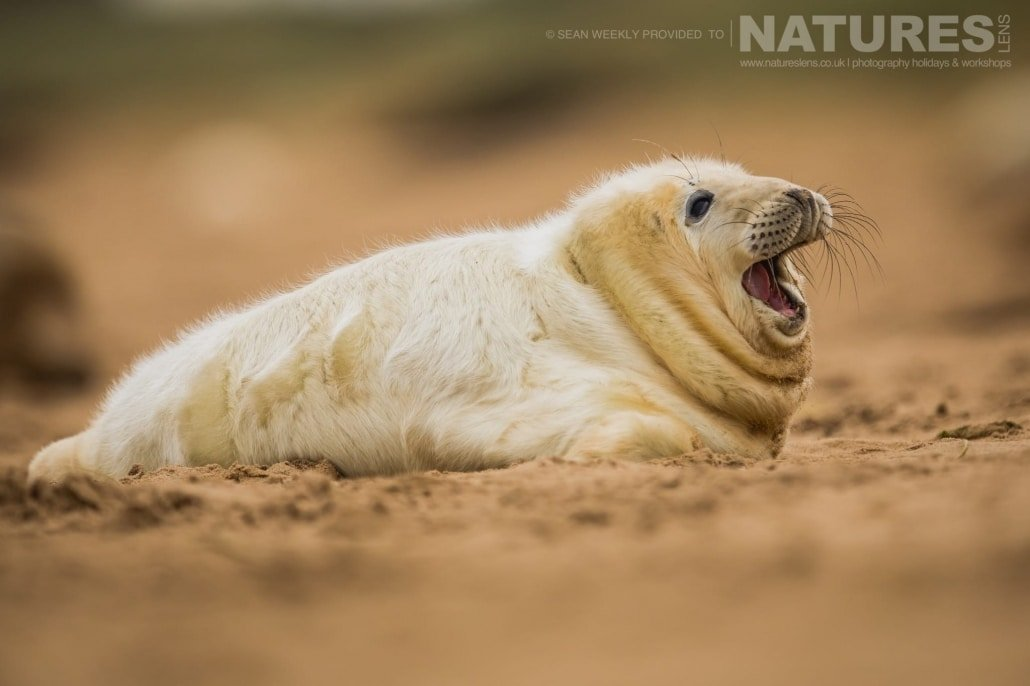 A young seal yawns having just awoken photographed on the NaturesLens Seals of Lincolnshire Photography Holiday