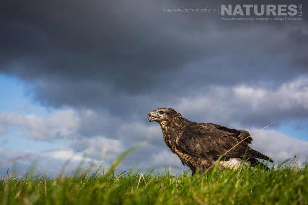 An image of a buzzard against an angry welsh sky, captured by Sean Weekly, on the NaturesLens Autumn Birds of Prey Photography Workshop