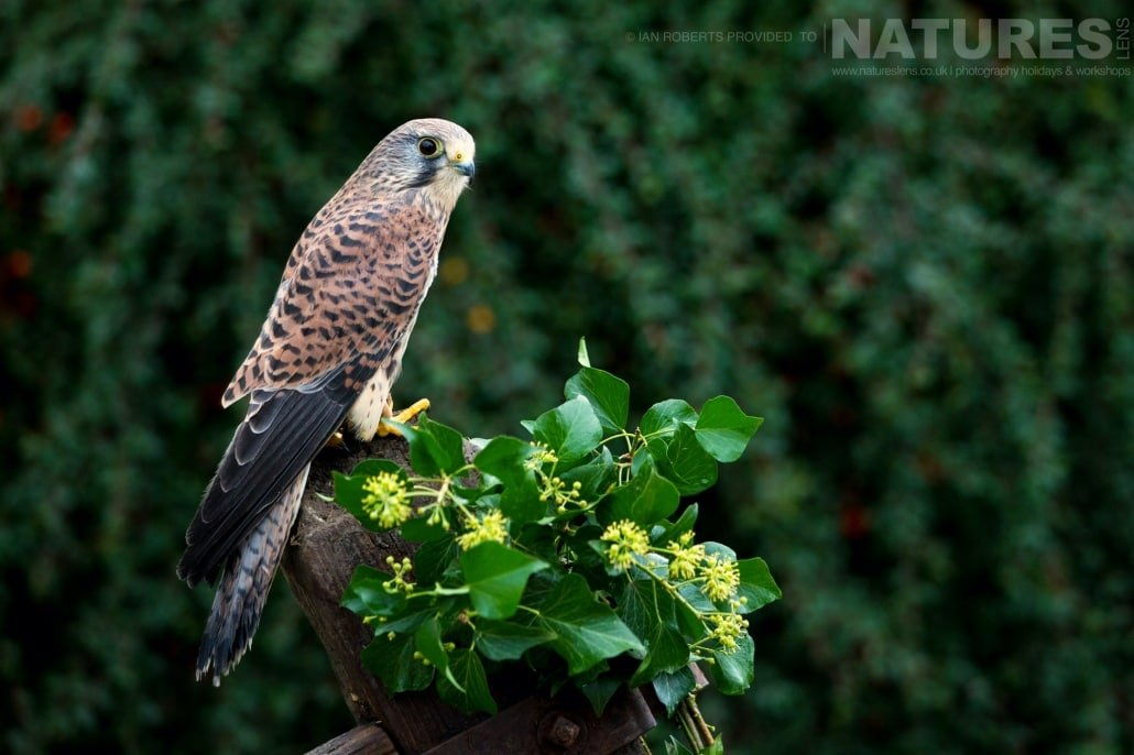 An image of one of the kestrels, perched on a gate post, captured by Ian Roberts, on the NaturesLens Autumn Birds of Prey Photography Workshop