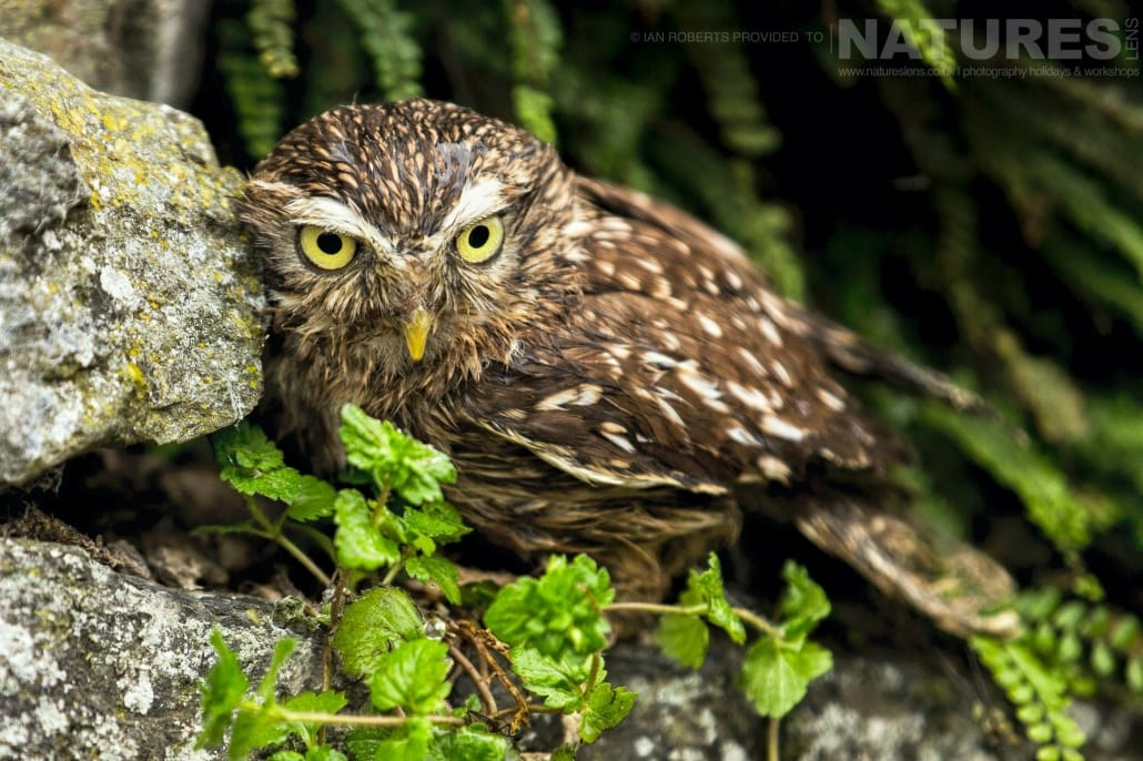 An image of one of the little owls, captured by Ian Roberts, on the NaturesLens Autumn Birds of Prey Photography Workshop