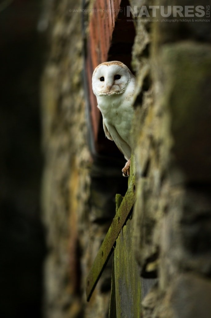 An image of the barn owl peering out at the photographers from an old barn door, captured by Ian Roberts, on the NaturesLens Autumn Birds of Prey Photography Workshop