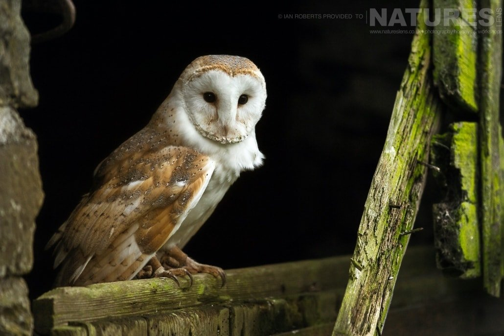 An image of the barn owl posed on an old barn door, captured by Ian Roberts, on the NaturesLens Autumn Birds of Prey Photography Workshop