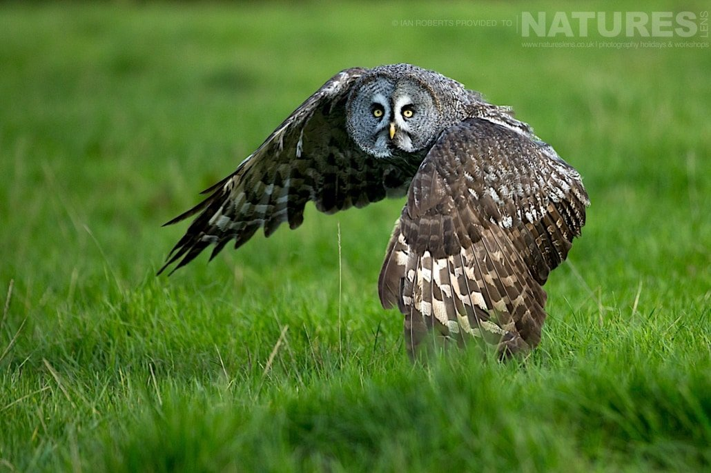 An image of the great grey owl taking flight, captured by Ian Roberts, on the NaturesLens Autumn Birds of Prey Photography Workshop