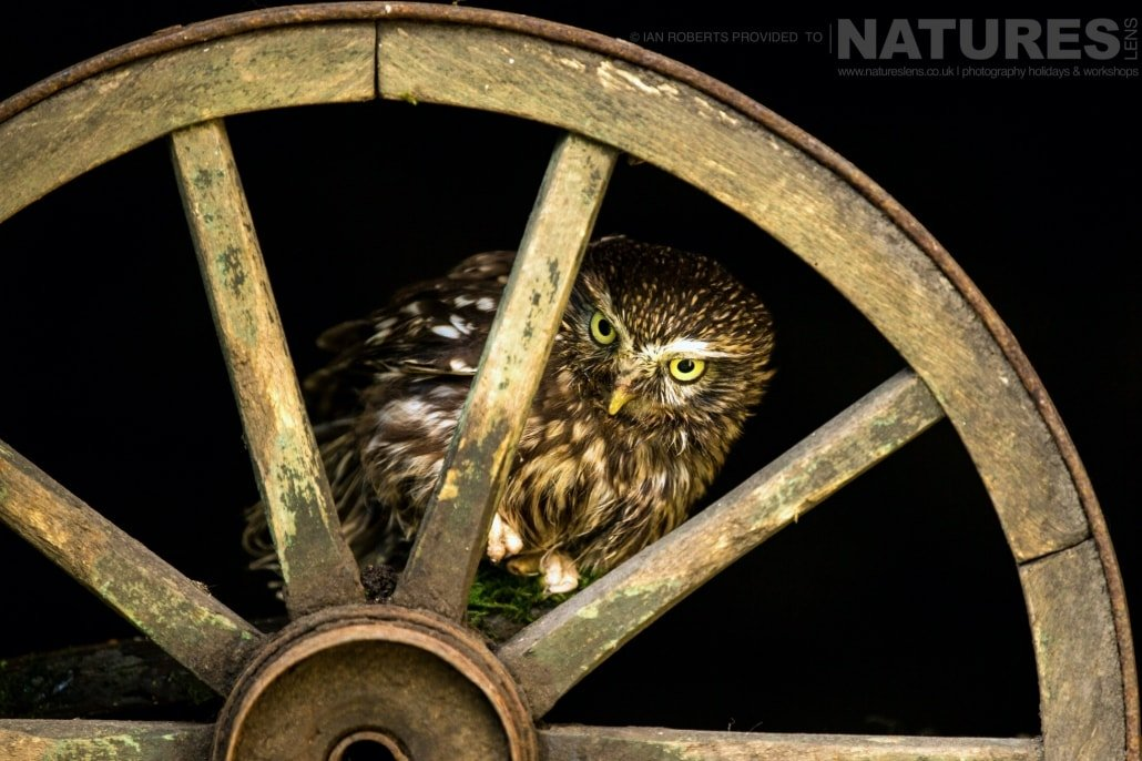 An image of the little owl peeking through the spokes of a vintage cart wheel, captured by Ian Roberts, on the NaturesLens Autumn Birds of Prey Photography Workshop