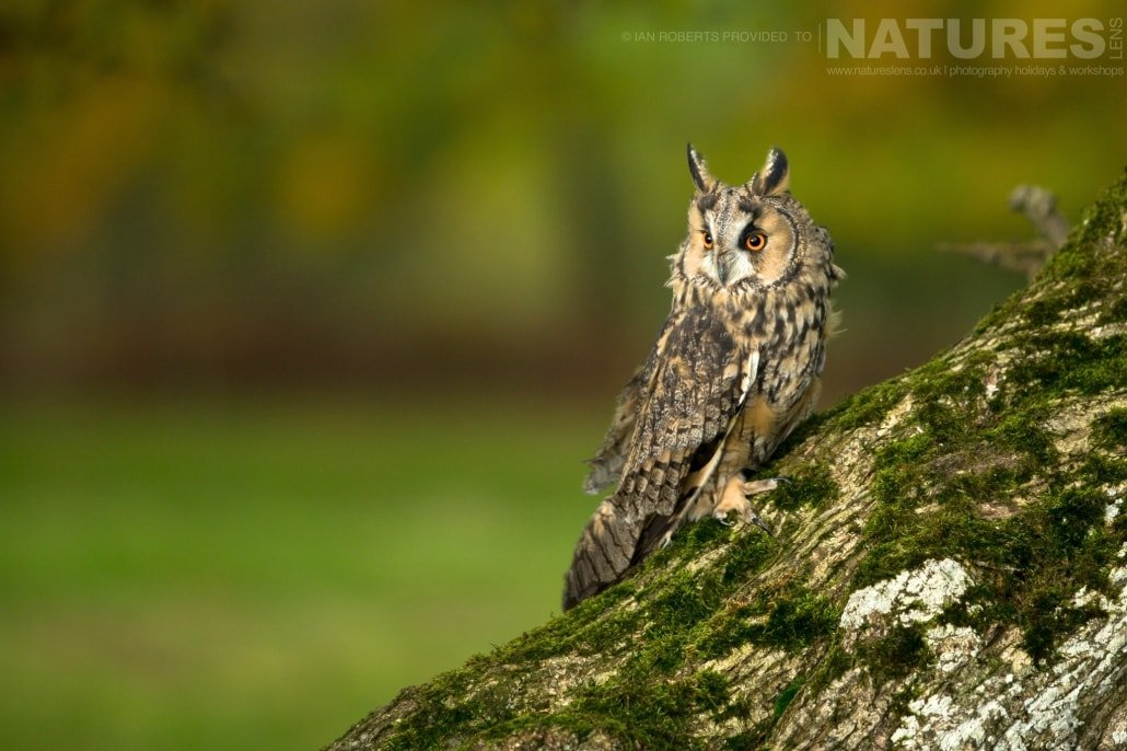 An image of the long eared owl posed on a tree trunk, captured by Ian Roberts, on the NaturesLens Autumn Birds of Prey Photography Workshop