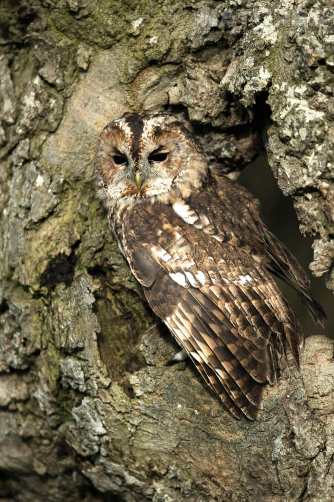 An image of the tawny owl perched within a hidey hole in an old tree, captured by Ian Roberts, on the NaturesLens Autumn Birds of Prey Photography Workshop
