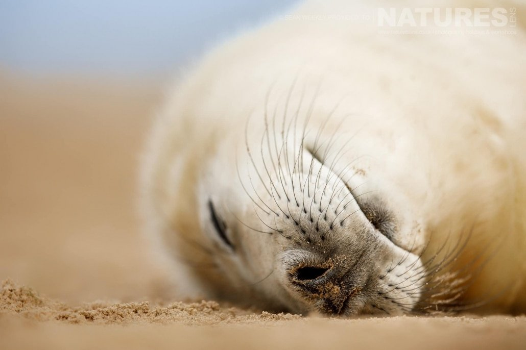 Close up with a sleeping seal pup photographed on the NaturesLens Seals of Lincolnshire Photography Holiday