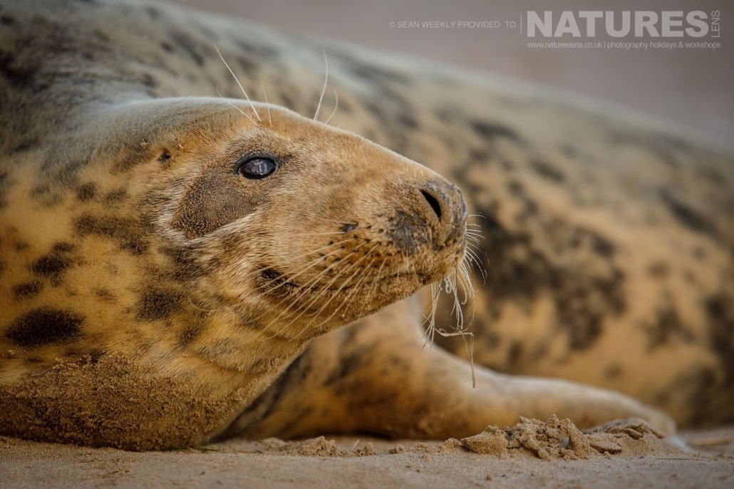Facial detail of one of the female seals photographed on the NaturesLens Seals of Lincolnshire Photography Holiday