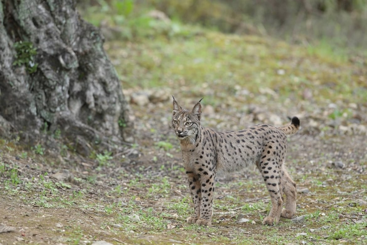 One Of The Iberian Lynx In The Sierra Morena Region Of Spain   Photographed. During The NaturesLens Wildcats, Eagles & Iberian Lynx Of Spain Photography Holiday