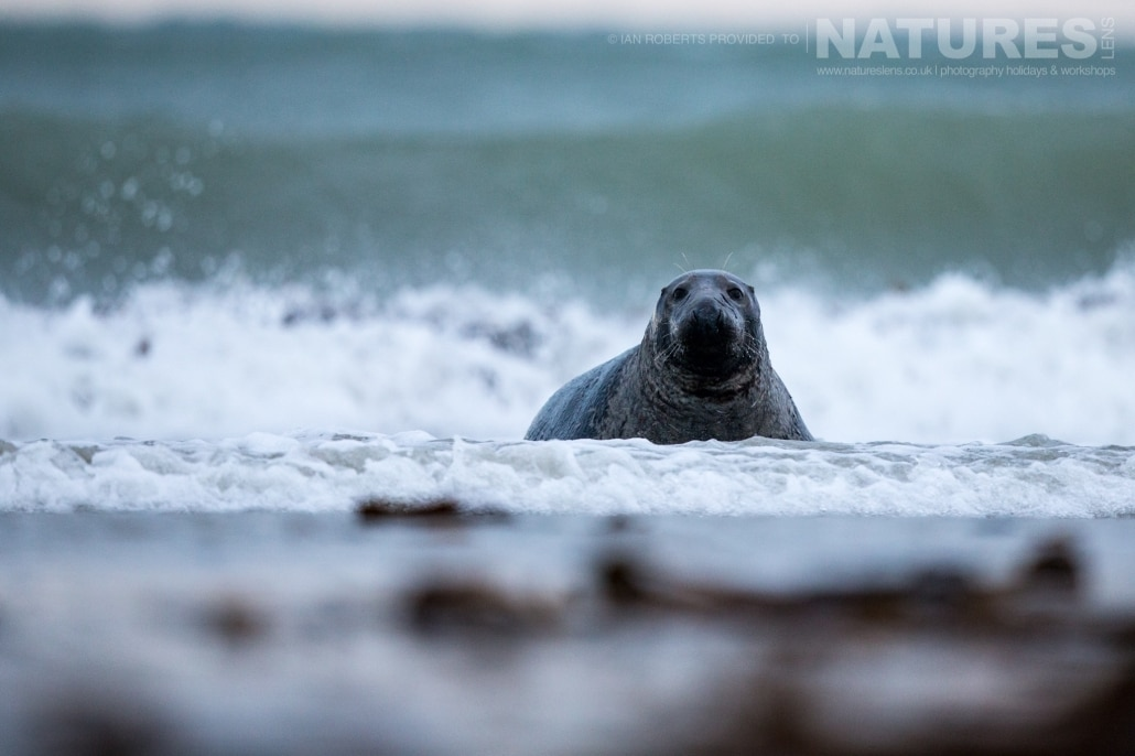 One of the bull seals on the edge of the surf image captured on a NaturesLens Seals of Helgoland Photography Holiday