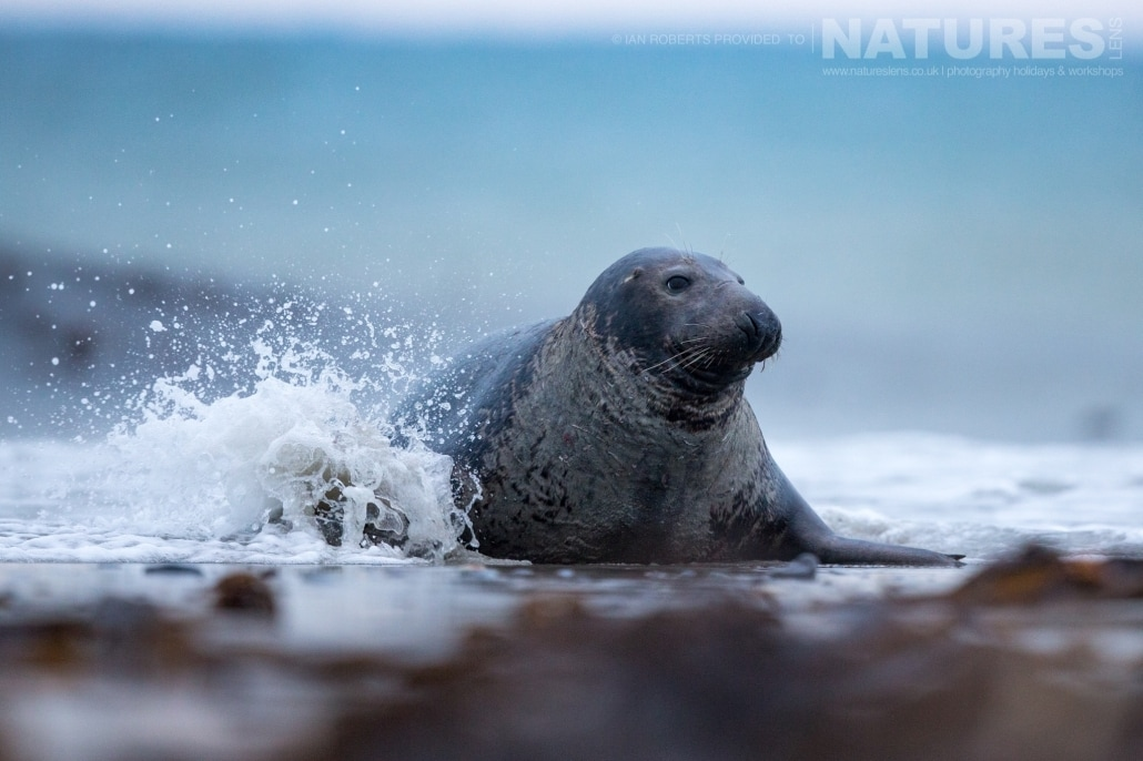 One of the bull seals playing on the edge of the surf image captured on a NaturesLens Seals of Helgoland Photography Holiday