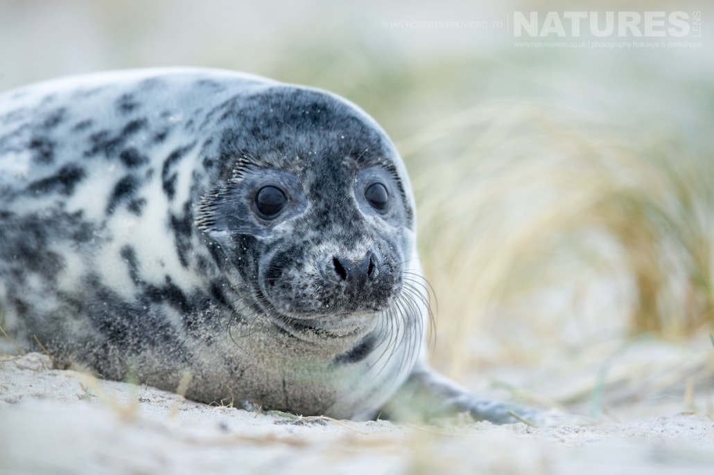 One of the female seals image captured on a NaturesLens Seals of Helgoland Photography Holiday