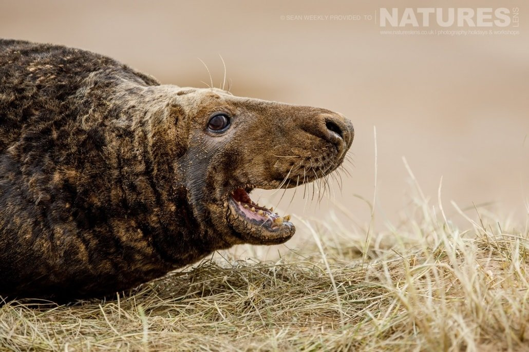 One of the female seals photographed on the NaturesLens Seals of Lincolnshire Photography Holiday