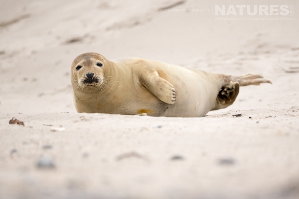 One of the juvenile seals found amongst the dunes image captured on a NaturesLens Seals of Helgoland Photography Holiday