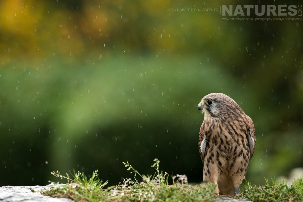 One of the kestrels in the rain, captured by Ian Roberts, on the NaturesLens Autumn Birds of Prey Photography Workshop jpg