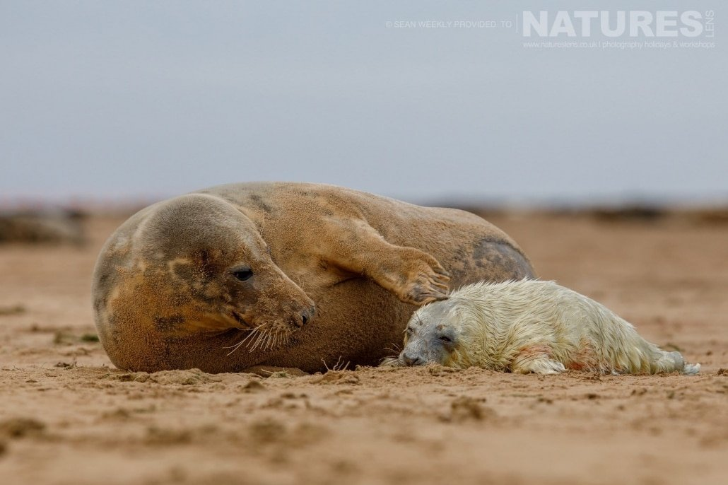 One of the newborn seal pups is gently stroked by it's mother photographed on the NaturesLens Seals of Lincolnshire Photography Holiday