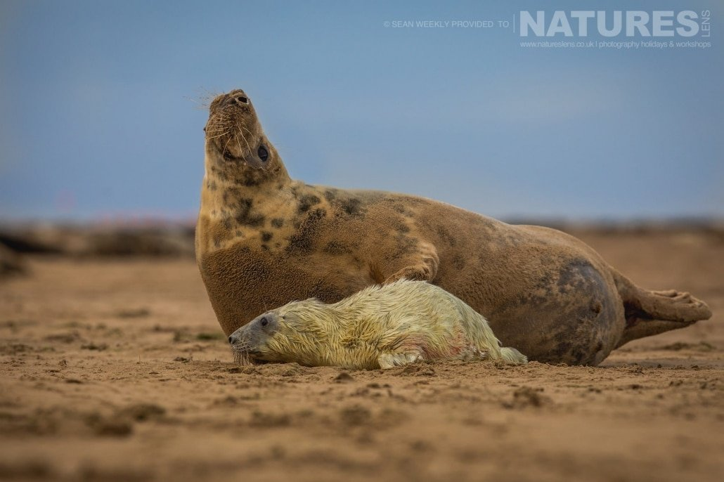 One of the newborn seal pups with it's mother photographed on the NaturesLens Seals of Lincolnshire Photography Holiday