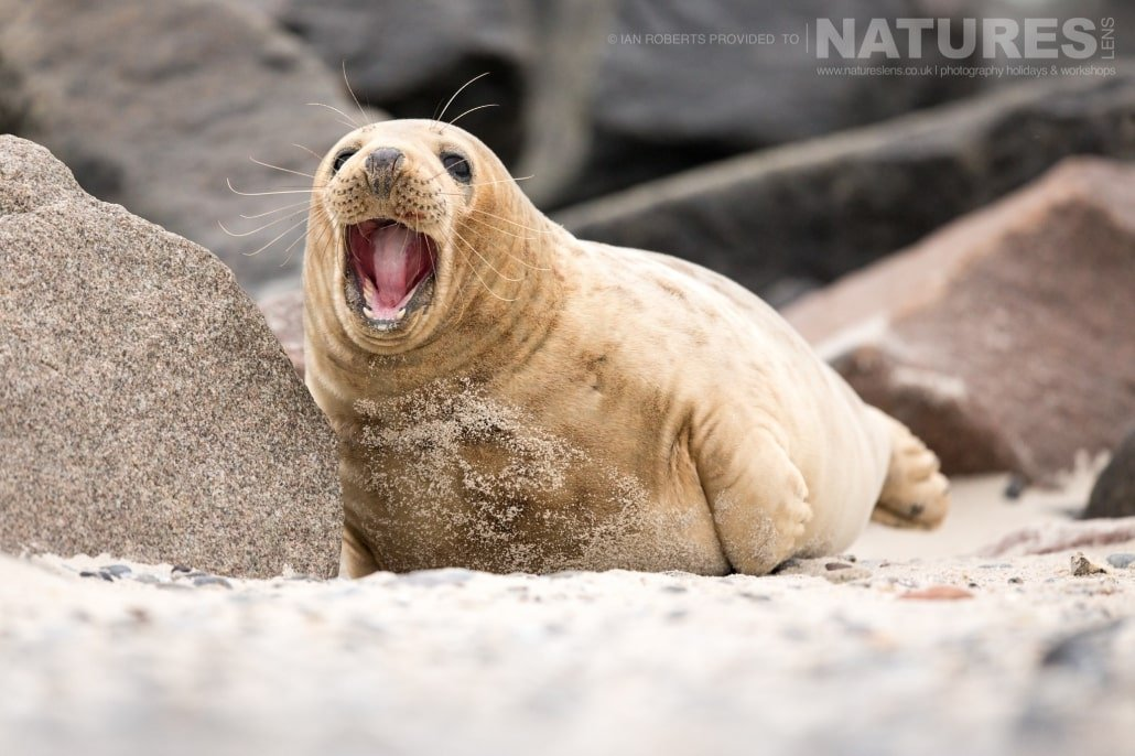 One of the older seals image captured on a NaturesLens Seals of Helgoland Photography Holiday
