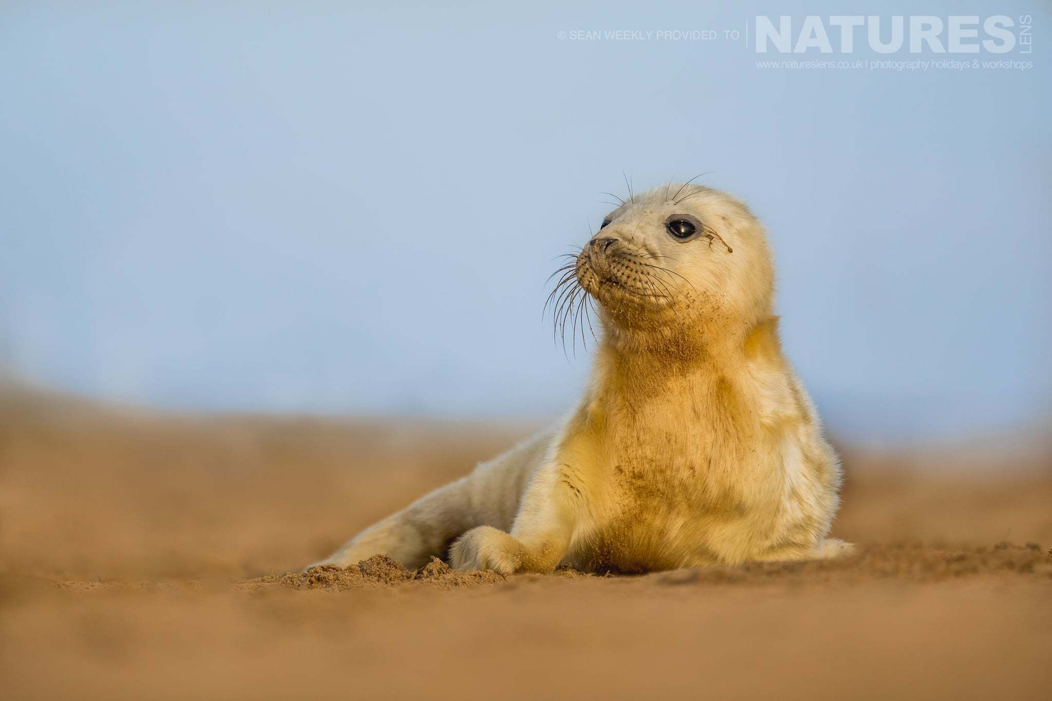 One of the seal pup raises itself up to peer across the sands photographed on the NaturesLens Seals of Lincolnshire Photography Holiday