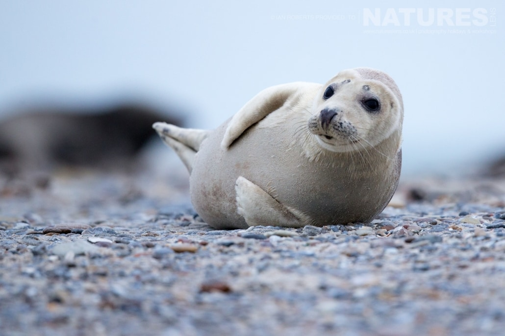 One of the seal pups image captured on a NaturesLens Seals of Helgoland Photography Holiday