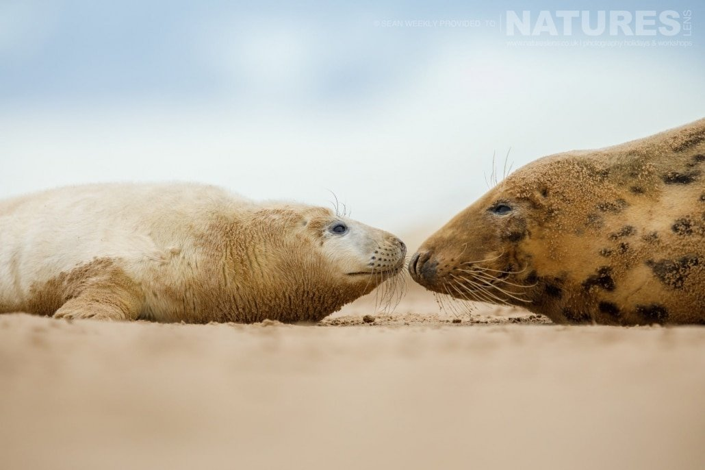 One of the seal pups nose to nose with it's mother photographed on the NaturesLens Seals of Lincolnshire Photography Holiday