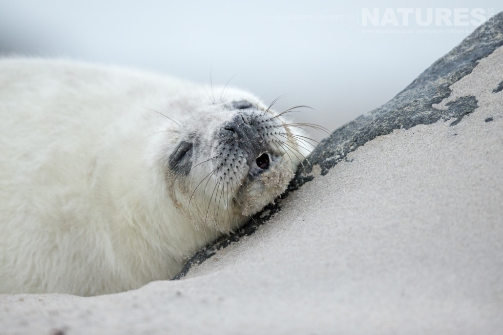 One of the seal pups sleeping image captured on a NaturesLens Seals of Helgoland Photography Holiday