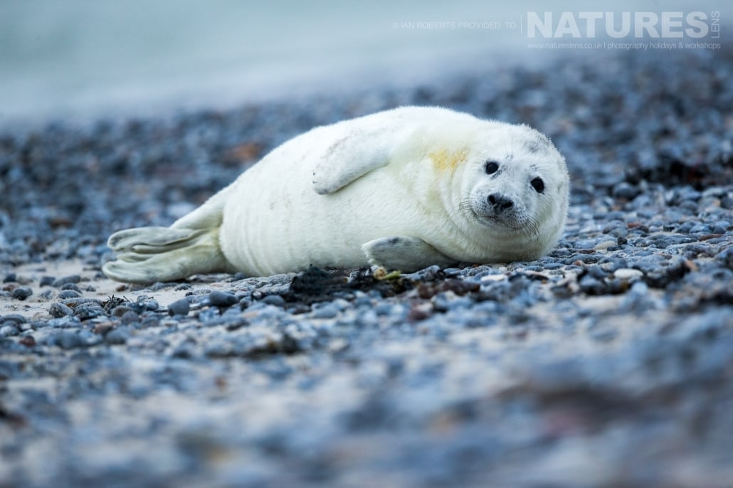 One of this years seal pups laying on a bed of pebbles image captured on a NaturesLens Seals of Helgoland Photography Holiday