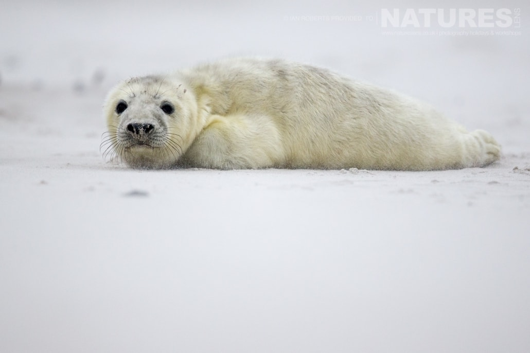 One of this years seal pups laying on the sand of the vast beach of Dune image captured on a NaturesLens Seals of Helgoland Photography Holiday