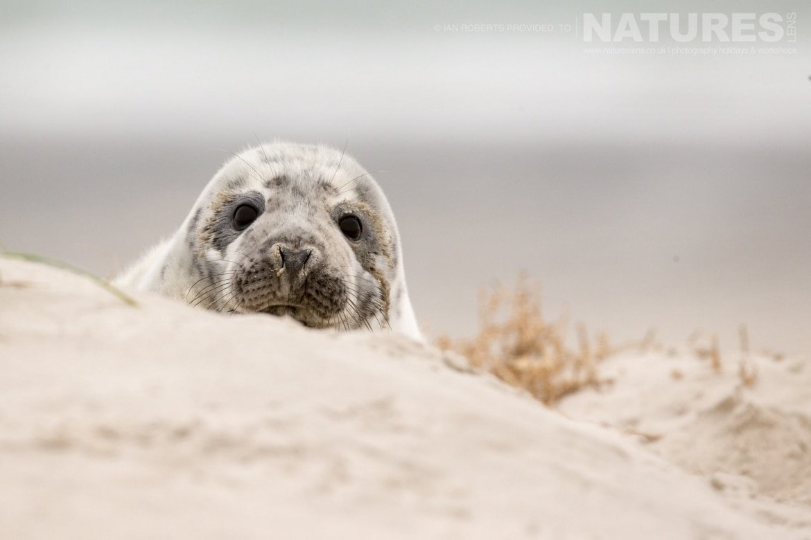One of this years seal pups peers over the top of a dune image captured on a NaturesLens Seals of Helgoland Photography Holiday