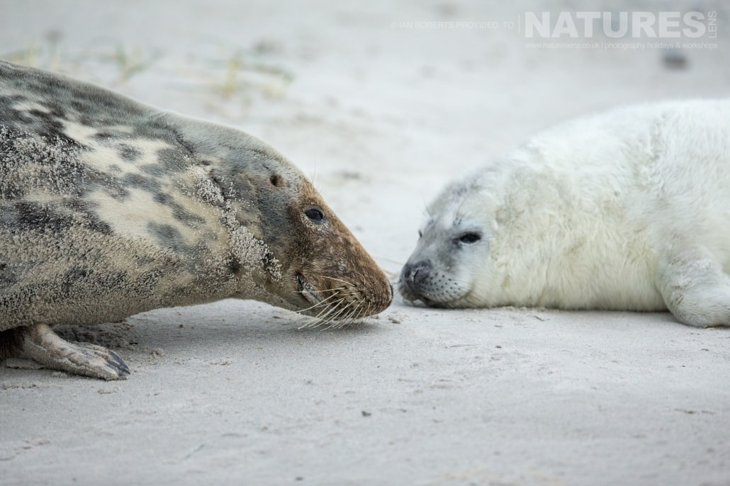 One of this years seal pups with it's mother image captured on a NaturesLens Seals of Helgoland Photography Holiday