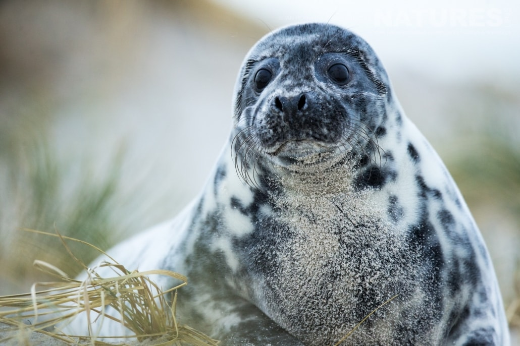 One of this years seal pups with striking pigmentation image captured on a NaturesLens Seals of Helgoland Photography Holiday