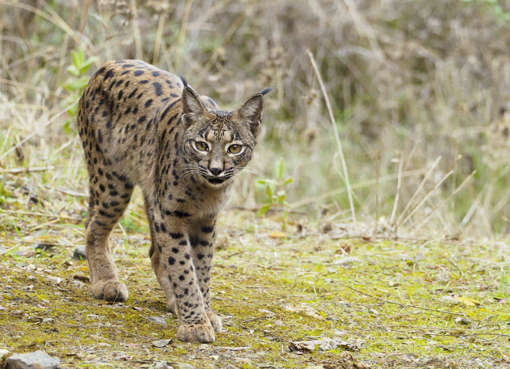 A solo Iberian lynx in the Sierra Morena region of Spain - photographed during the NaturesLens Wildcats Eagles Iberian Lynx of Spain Photography Holiday