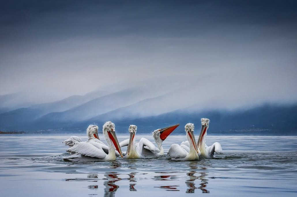 An image captured by Sean Weekly during the NaturesLens Dalmatian Pelican Photography Holidays