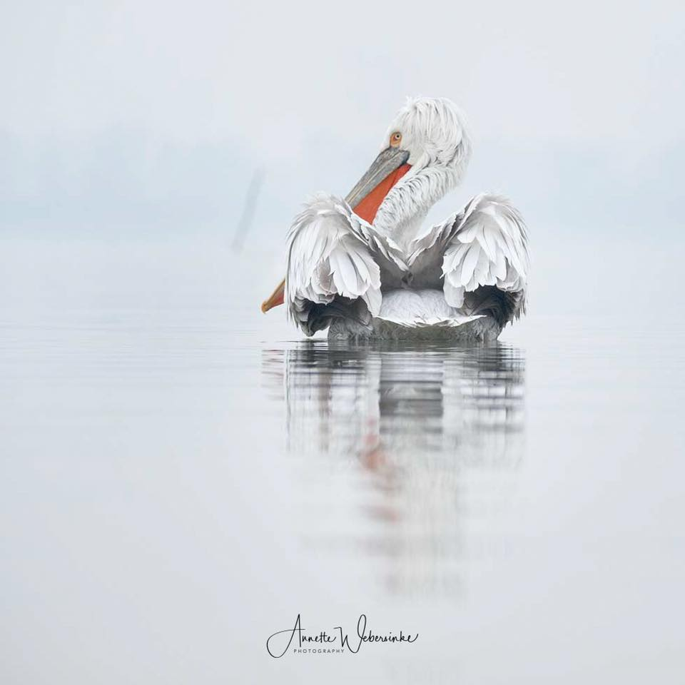 An image captured during the NaturesLens Dalmatian Pelican Photography Holidays by Annette