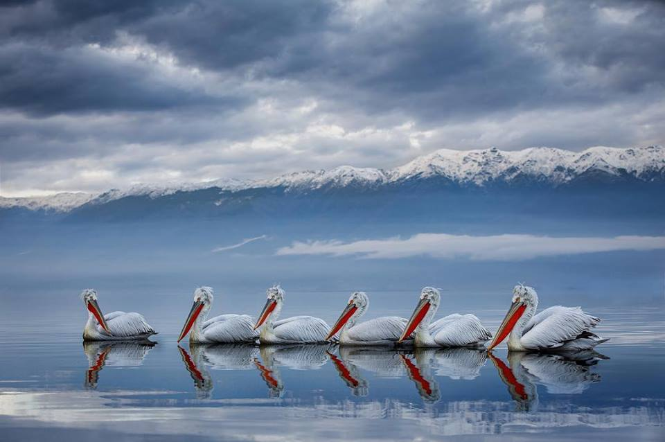An image captured during the NaturesLens Dalmatian Pelican Photography Holidays by Sean Weekly