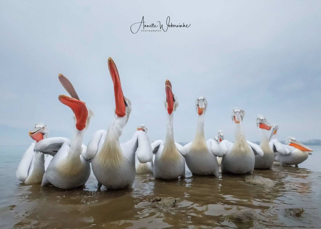 An image captured by Annette during the NaturesLens Dalmatian Pelican Photography Holidays