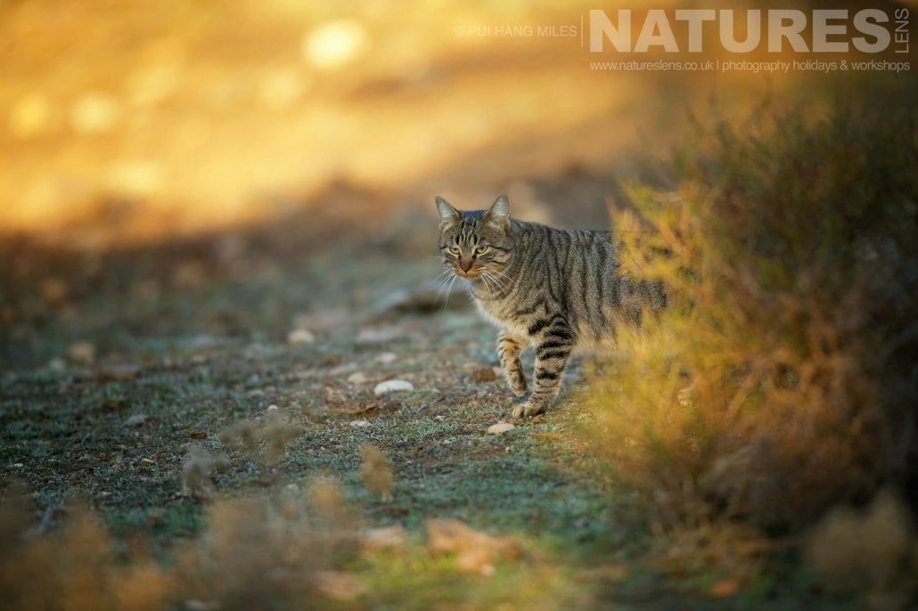 A European Wildcat photographed at dawn image captured during a NaturesLens Wildcat, Eagles & Iberian Lynx of Spain Photography Holiday