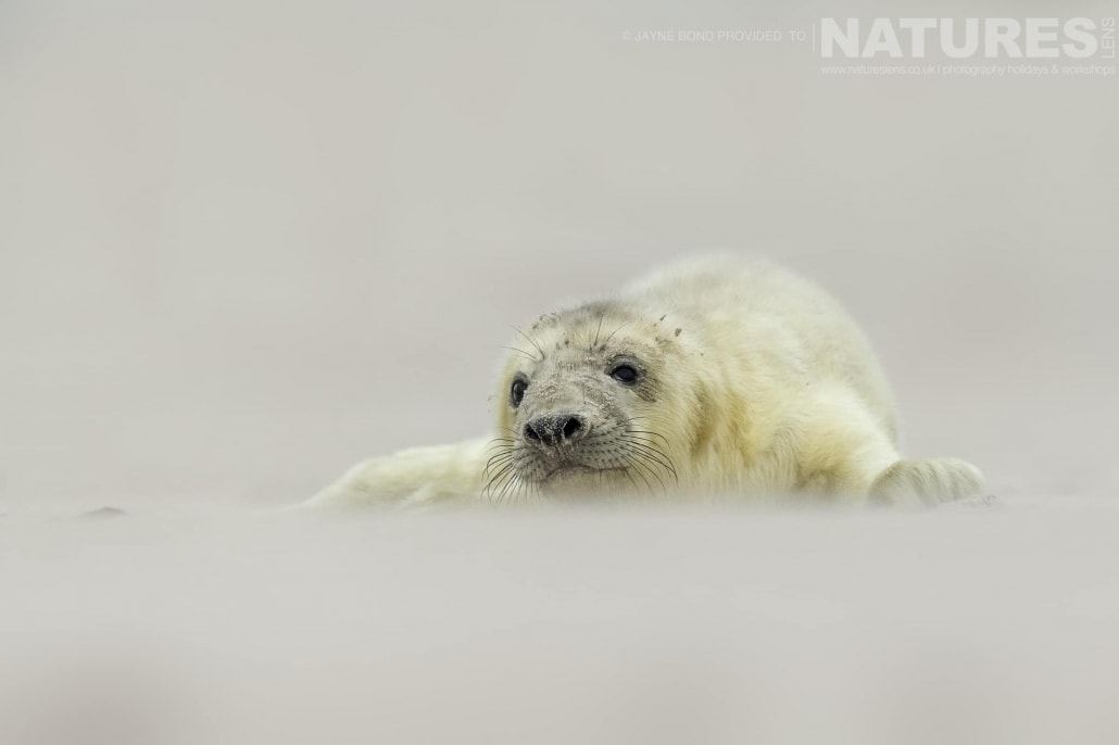 A newborn seal pup lies in the sands of Dune island image captured during a NaturesLens Seals of Helgoland Photography Holiday