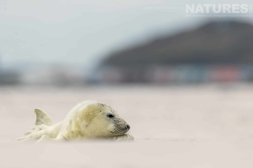 A newborn seal pup lies in the sands of Dune island, with the bright colours of Helgoland in the distance image captured during a NaturesLens Seals of Helgoland Photography Holiday
