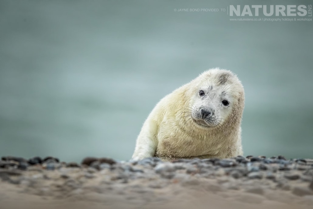 A newborn seal pup peers over the crest at the photographer image captured during a NaturesLens Seals of Helgoland Photography Holiday