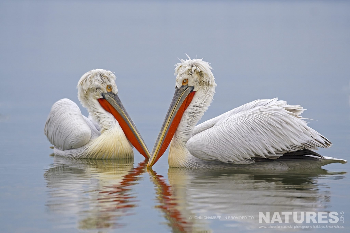 A pair of Dalmatian Pelicans float on the calm waters of Lake Kerkini in Northern Greece photographed on a NaturesLens Dalmatian Pelican Photography Holiday