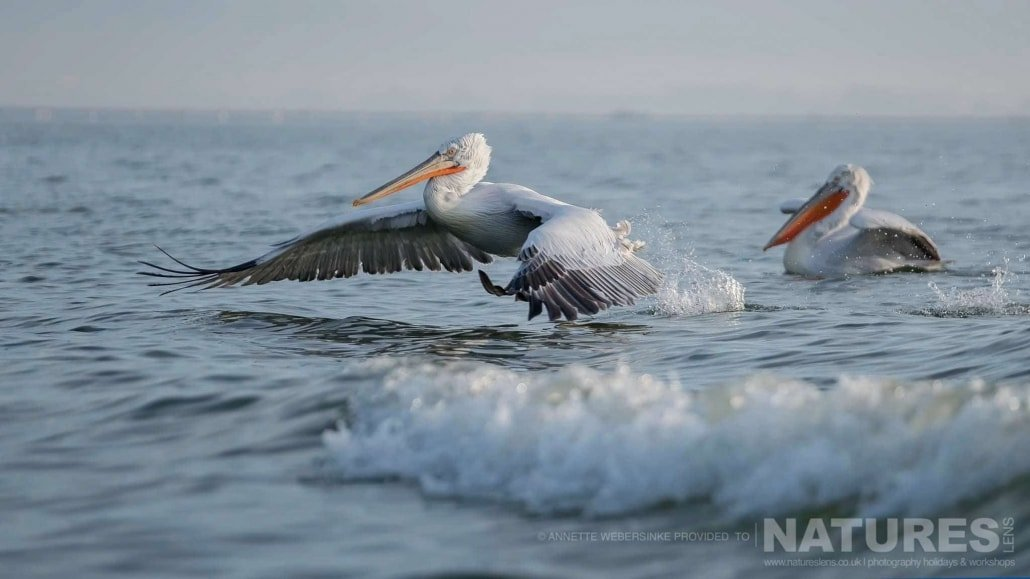 A pelican lands on Lake Kerkini in the wake of the boat image captured during a NaturesLens Dalmatian Pelican Photography Holiday