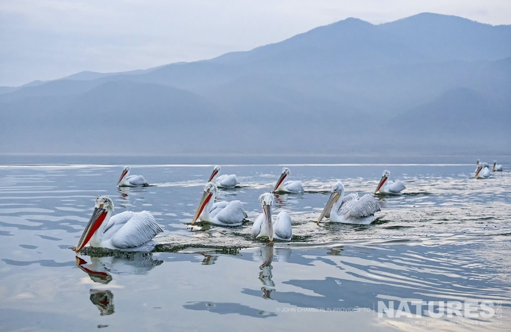 A pod of Dalmatian Pelicans swim alongside the boat on the waters of Lake Kerkini in Northern Greece photographed on a NaturesLens Dalmatian Pelican Photography Holiday