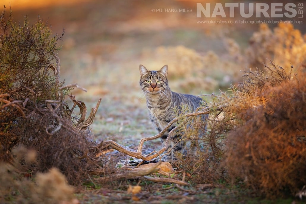 A portrait of a female wildcat looking through the undergrowth image captured during a NaturesLens Wildcat, Eagles & Iberian Lynx of Spain Photography Holiday
