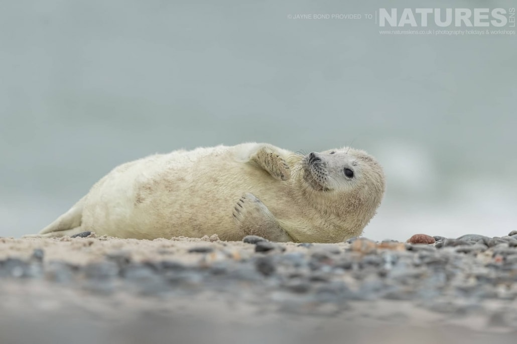 A seal pup lies in the sands & pebbles of Dune island image captured during a NaturesLens Seals of Helgoland Photography Holiday