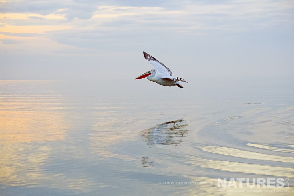 A solitary Dalmatian Pelican flies over the calm waters of Lake Kerkini in Northern Greece photographed on a NaturesLens Dalmatian Pelican Photography Holiday