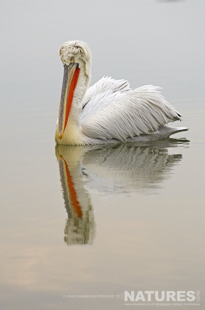 A solitary Dalmatian Pelican floats on the calm waters of Lake Kerkini in Northern Greece photographed on a NaturesLens Dalmatian Pelican Photography Holiday